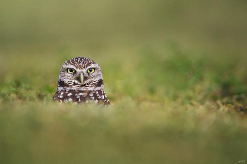 cute nature grass florida alt wildlife superior owl owls burrowingowl wildbirds