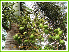 Wodyetia bifurcada (Foxtail Palm) with clusters of unripen fruits, 15 Oct 2013