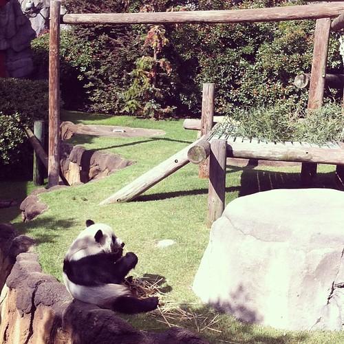 The pandas were soooo cute! #memphiszoo #pandas #memphisdaytrip