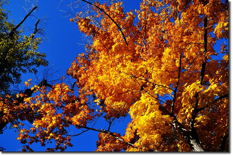 Maple in Fall, Mapleton Hill, Boulder (34)