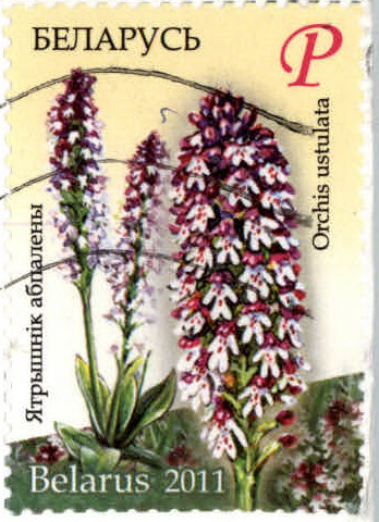 Belarus - 2011 - P - Orchis ustulata - on BY-1046268