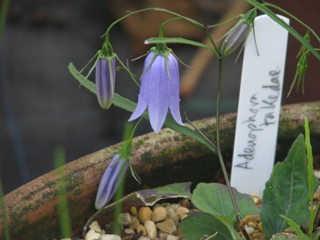 Adenophora takedae