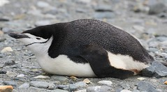 South Shetlands - Wildlife