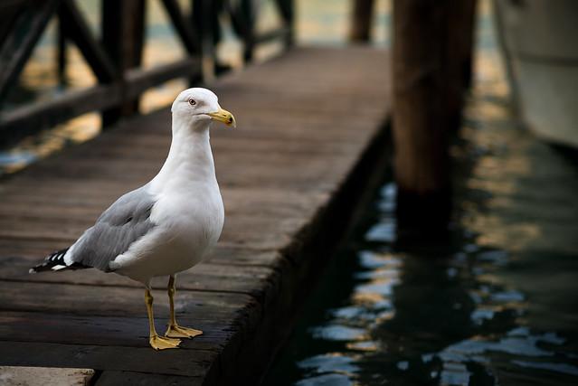 Gabbiano Reale a Venezia