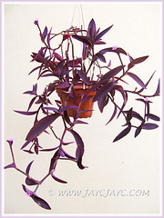 Potted Tradescantia pallida 'Purpurea' or 'Purple Heart' (Purple Queen, Purple Secretia, Wandering Jew) - Nov 14 2013