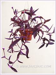 Potted Tradescantia pallida 'Purpurea' or 'Purple Heart' (Purple Queen, Purple Secretia, Wandering Jew) - Nov 14 2013