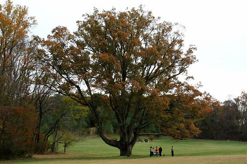 Image of Floras Oak