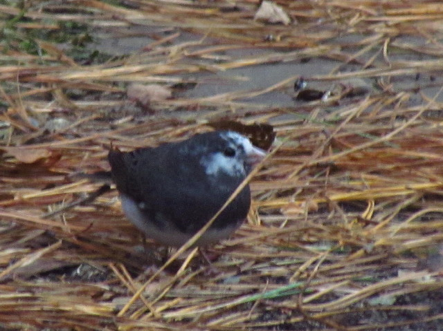 Leucistic Dark-eyed Junco3 12:5:13