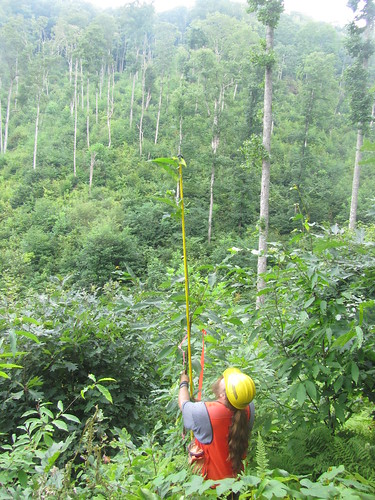A University of Tennessee research technician measures a chestnut tree planted in 2011. (U.S. Forest Service)
