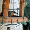 a csuszka is szereti a napraforgómagot / the Eurasian Nuthatch likes the sunflower seeds by debreczeniemoke