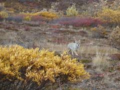 Coyote, Denali National Park, Alaska