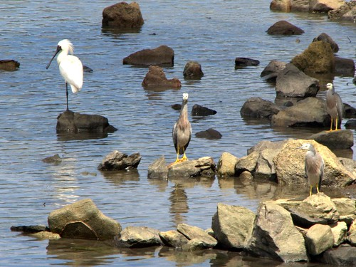 Spoonbill and bodyguards