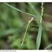 Small photo of Wandering Ringtail Damselfly