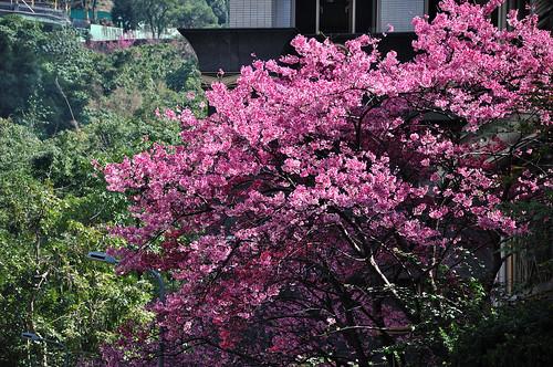 象山腳下櫻花