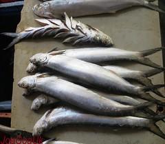 Koli fish
