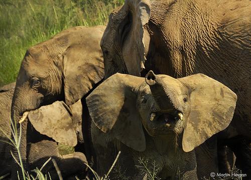 Mischievous Little Elephant Calf
