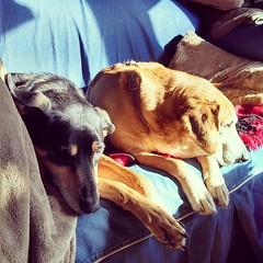 The hounds have claimed the morning #sunspot ! #houndmix #coonhoundmix #Rescued #adoptdontshop #dogstagram #instadog #ilovemydogs