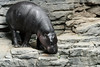 Pygmy Hippo Standing on Rocks by Eric Kilby