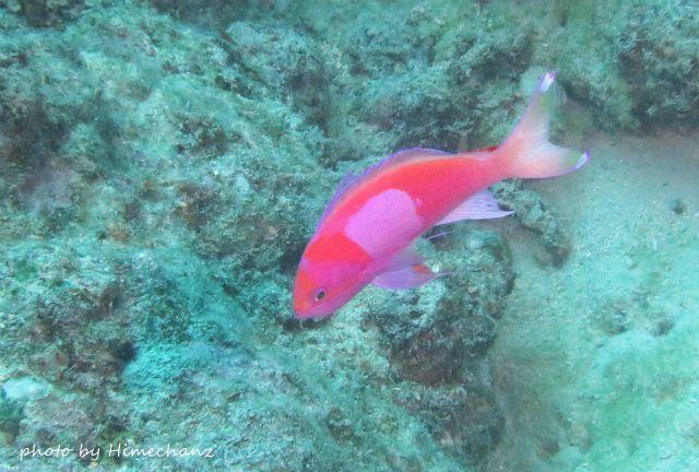 水深浅めのところにサロンパスを貼った、スミレナガハナダイを発見♪