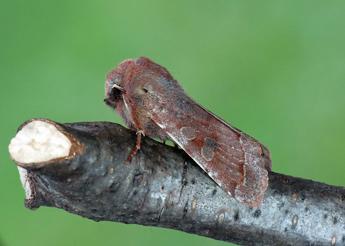 2188 Clouded Drab Orthosia ince