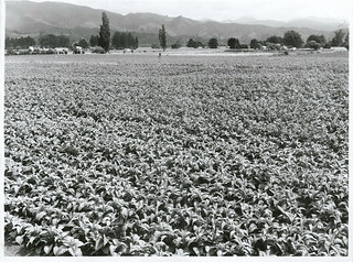 Tobacco Plantation, Motueka, Nelson