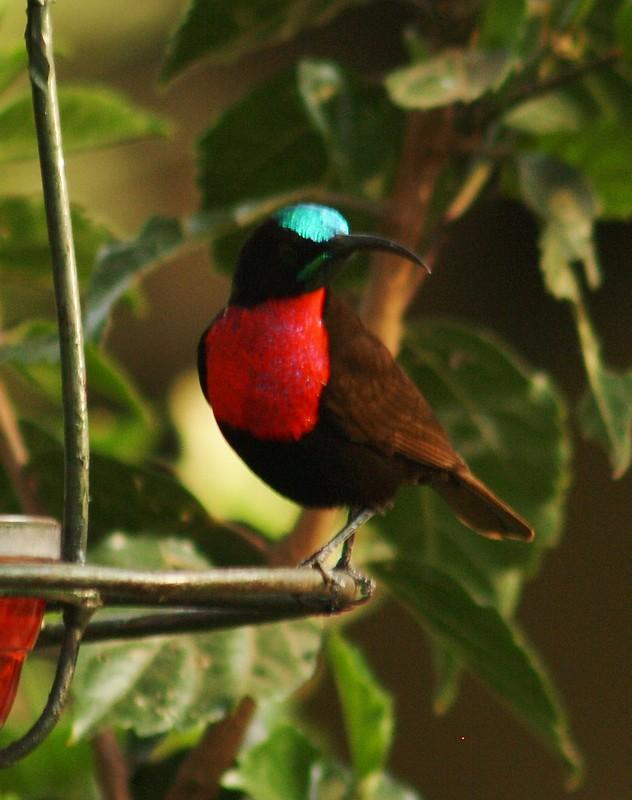 Kenyan sunbirds
