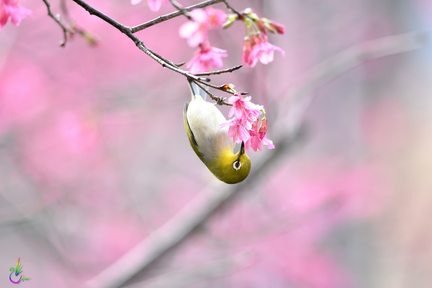 Sakura_White-eye_7959