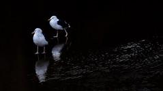 Gulls In Reflection