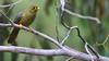 Bell Miner - Manorina melanophrys