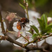 Andrena fulva, female