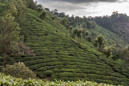 munnar kerala india nikon d810 tea plantation field fields green
