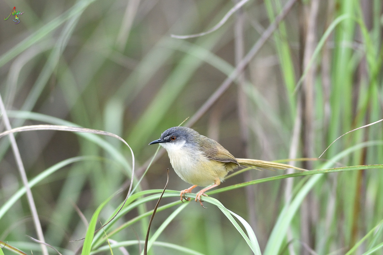 Yellow-bellied_Prinia_3679
