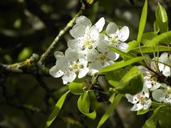 branche poirier fleurs - Photo of Rocourt