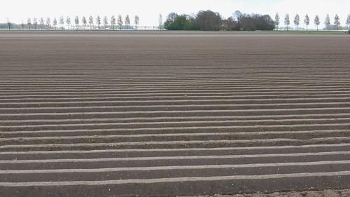 Tulip tour leads along potatoefields too, NO polder 2017