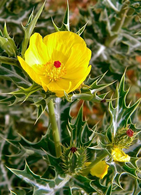 wild flower - Jaipur, Nikon COOLPIX L100