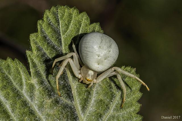 Le Thomise, une araignée crabe tueuse d'abeilles