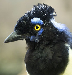 Memphis Zoo 08-31-2016 - Plush Crested Jay 8
