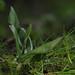 Common Twayblade - Lista ovata