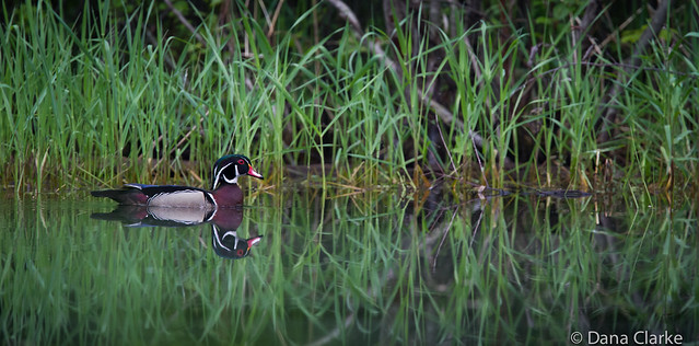 Male Wood Duck swims at pond's edge
