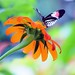 Piano Key Butterfly atop a Mexican Sunflower by Apryl Wiese