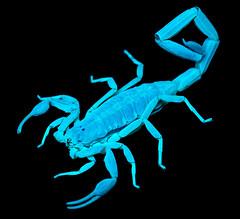 arthropod, animal, scorpion, organism, invertebrate, illustration,