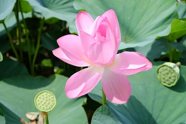 Lotus 台中清水趙家古厝荷花