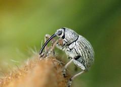 Gorse Weevil – Exapion ulicis