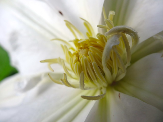 yellow anthers on a white clematis