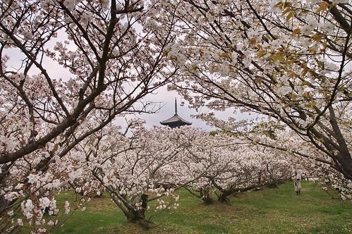 【写真】桜 : 仁和寺