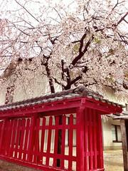 Cherry blosson tree