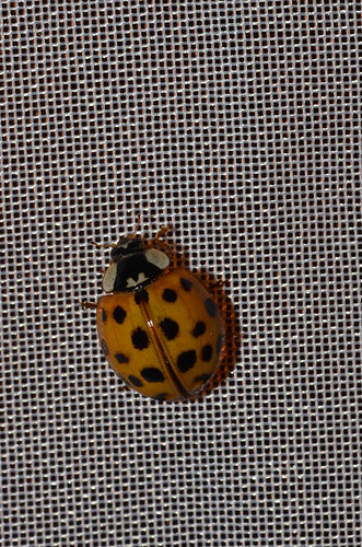 <p><i>Harmonia axyridis</i>, Coccinellidae<br /> Simon Fraser University, Burnaby, British Columbia, Canada<br /> Nikon D5100, 105 mm f/2.8<br /> July 24, 2013</p>