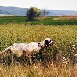 EMO DI VALTRESINARO - Ferma grintosa su starne.