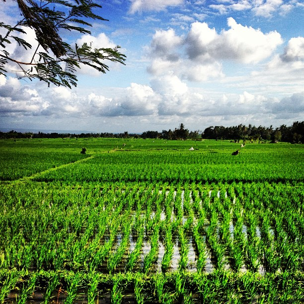 Riding through the padi field in #bali heading to #tanahlot #travel #kerobokan #bike