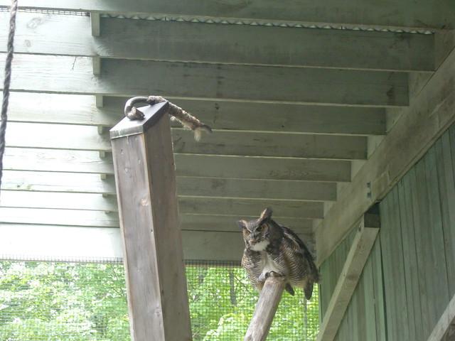 VINS great horned owl